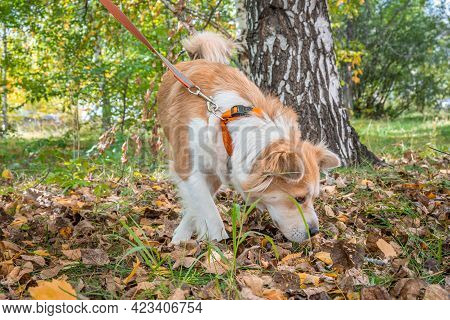 A Dog On A Leash In The Autumn Forest Carefully Sniffs The Ground