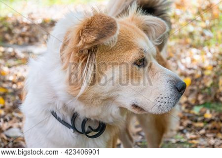 A Dog Wearing A Dog Collar Against Fleas And Ticks On A Lawn In The Autumn Forest Looks Carefully Aw