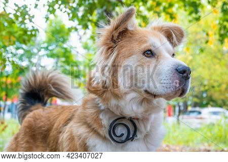 A Dog Wearing A Dog Collar Against Fleas And Ticks On A Lawn In The Autumn Forest In Looks Carefully