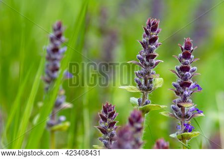 Inflorescences Of Blue Bugle (saint Lawrence Plant) Bloomed In A Meadow Among Green Grass. Close-up.