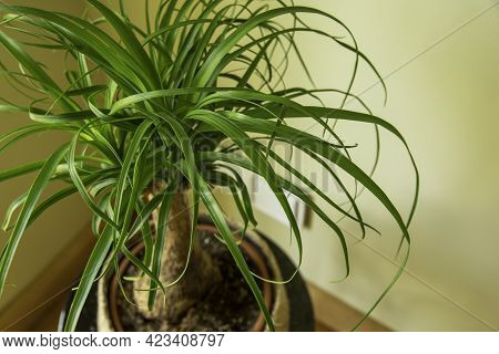 The Beaucarnea Recurvata, Also Known As Ponytail Palm, Or Nolina Is A Houseplant With A Swollen Thic
