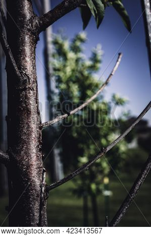Damaged Bark Of On A Peach Tree In The Spring Caused By An Infestation Of Peachtree Borer Larvae Tun