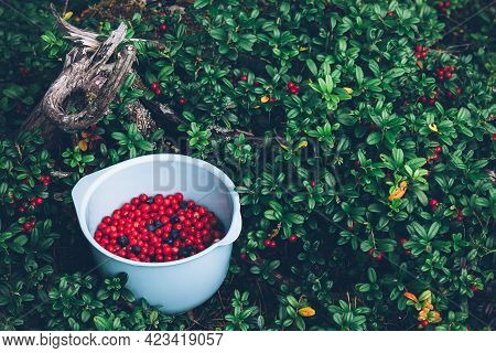 Lingonberry. Ripe And Fresh Lingonberries And Blueberries In The Bowl.