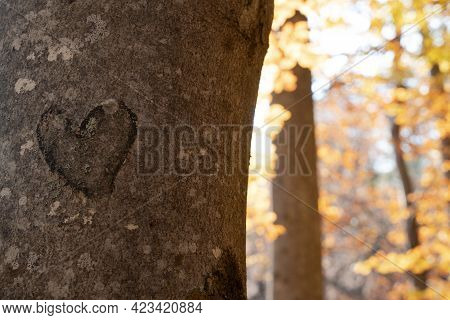Front View Closeup Of Heart Shape Cut In A Tree Trunk Bark With Brown Autumn Tree Leaves In The Back