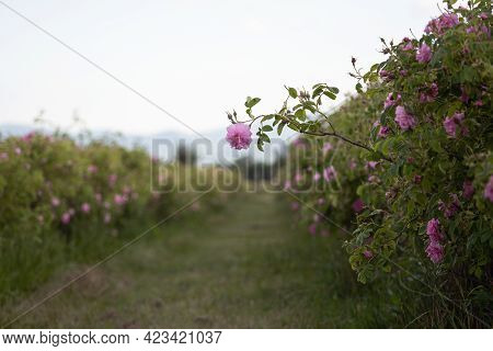 Closeup Of A Lonely Pink Rose Between Rows Of Cultivated Flowers In A Plantation At The Time Of Harv