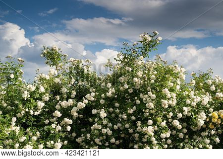 Front View Closeup Of Decorative Large Bush Of White Roses With Lot Of Branches Against A Blue Sky W