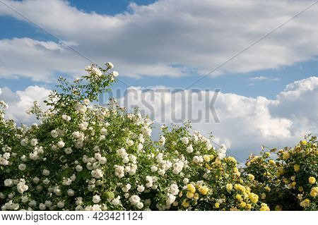 Front View Closeup Of Decorative Large Bush Of White And Yellow Roses With Lot Of Branches Against A