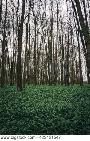 Green Sea Herb Allium Ursinum, Known As Wild Garlic, Wild Cowleek, Ramsons, Buckrams Around The Odra