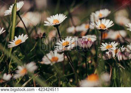 Garden Full Of White Dancers In The Form Of Bellis Perennis Bending And Dancing In The Wind On A Sun