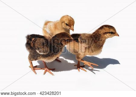 Three Brown Chicken Chicks, Two Weeks Old. Small Brown Chickens With Shadow Isolated On White Backgr