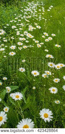 Beautiful Wild Daisies Flowers In The Fields