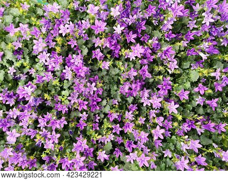 Purple Flowers Of Dalmatian Or Adria Bellflower (campanula Portenschlagiana), Background. Potted Pla