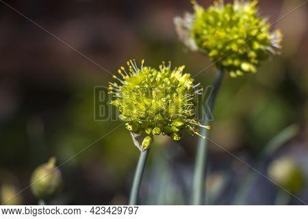 Blooming White Flowers Of Onion  In Garden On Summer Sunny Day. Seeds Onion. Allium Stipitatum. Alli