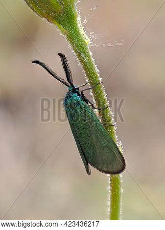 green forester in natural habitat (adscita mannii)