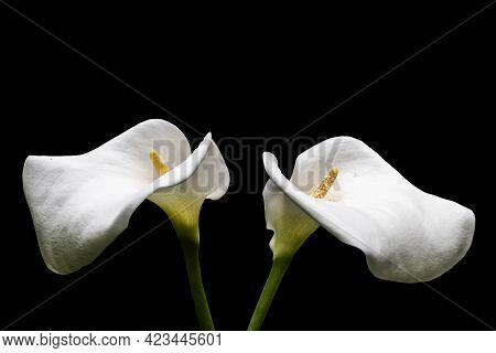 Two White Calla Lilies Isolated Over Black Background.