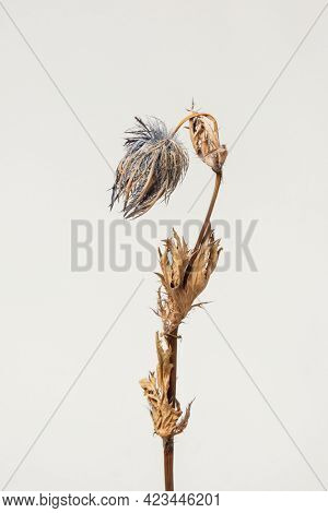 Dried blue thistle flower on a gray background