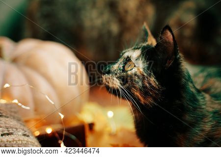 Cute Curious Cat Looks Up. Against The Background Of A Large Ripe Orange Pumpkin, A Knitted Scarf An