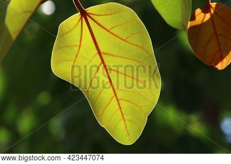 Multicolored Leaves On Trees In A City Park Close-up. Hot Summer In Israel.