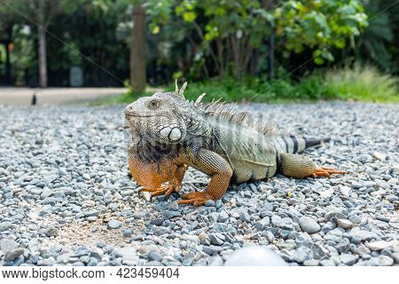 Green Iguana (iguana Iguana) Large Herbivorous Lizard Staring On Rocks In The Botanical Garden Of Me