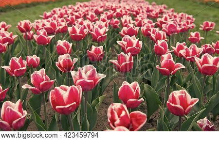 Famous Tulips Festival. Nature Background. Group Of Pink Holiday Tulip Flowerbed. Blossoming Tulip F