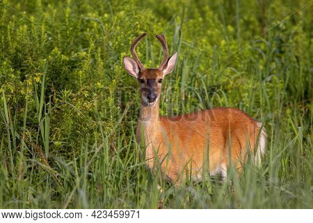 A Three-point Yearling Buck In A Grass Field