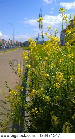 Yellow Barbarea Vulgaris Flowers On Blurred Cityscape Background. Blue Sky. Fresh Air Concept. Comfo
