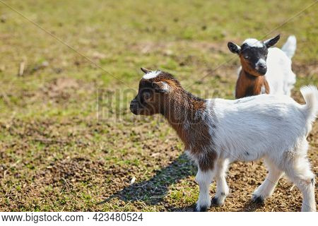 Brown And White Baby Goats In The Open Air. Domestic Dwarf Goats On The Farm.little Goats Stand With