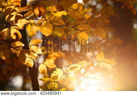 Branches Of Trees With Yellow And Brown Leaves And Sunbeams. Autumn Beautiful Sunny Background In Wa