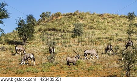 Small Group Of South African Oryx Grazing In Arid Land In Kgalagadi Transfrontier Park, South Africa