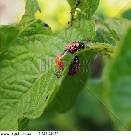 Several Colorado Beetle Larvae Eat The Potato Leaf. Close-up. A Bright Square Illustration About Agr