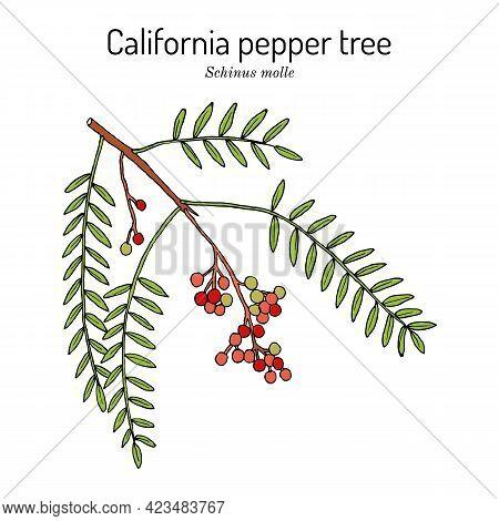 California Pepper Tree, Or Peruvian Peppertree Schinus Molle , And Medicinal Plant. Hand Drawn Botan