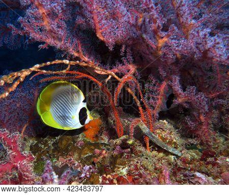 Raccoon Butterflyfish Also Known As Crescent-masked Butterflyfish Cebu Philippines