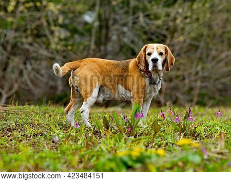 Russia. Kuzbass. The Dog Of The Beagle Breed Walks In The Spring Taiga. It Is A Hunting Dog Of The G