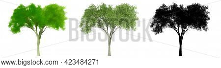 Set or collection of American Elm trees, painted, natural and as a black silhouette on white background. Concept or conceptual 3d illustration for nature, ecology and conservation, strength, endurance
