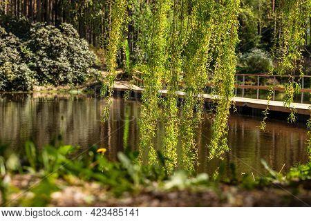 Low Angle Photo Of Bright Green Weeping Birch Tree (betula Pendula) Branches Hanging At Front Of Wat