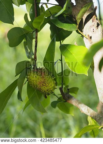 Soursop Durian Sweet Fruit With Sharp Bark Flesh Tree On Blurred Of Nature Background