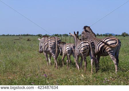Zebra Family Herd Walking Away Together Into The Bushveld Grasslands In Kruger National Park, South