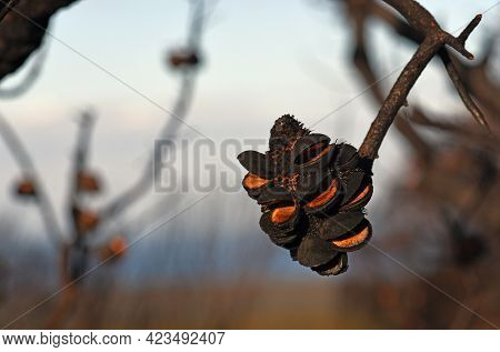 Open Seed Follicles On Banksia Serrata Cone Following A Bushfire In Sydney Woodland, Nsw, Australia
