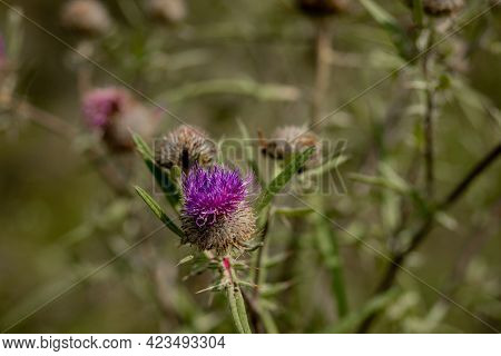 Close Up Of Bee Collects Honey From Thistle, Macro