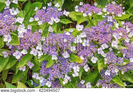 Beautiful Flowers Of Hydrangea ( Hydrangea Aspera ) On Sunny Summer Day