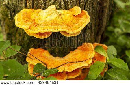 Tinder Fungus Sulfur-yellow Or Laetiporus Sulphureus - Fungus-tinder Fungi Family Polyporaceae Growi