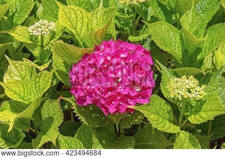Bright Pink Flower Of Hydrangea ( Hydrangea Macrophylla ) Among Green Leaves In Garden