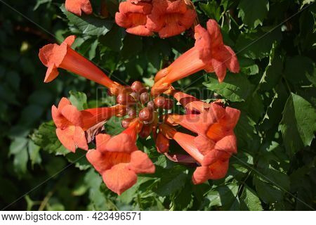 Beautiful Red Flowers Of The Trumpet Vine Or Trumpet Creeper (campsis Radicans). Branch Of Trumpet V