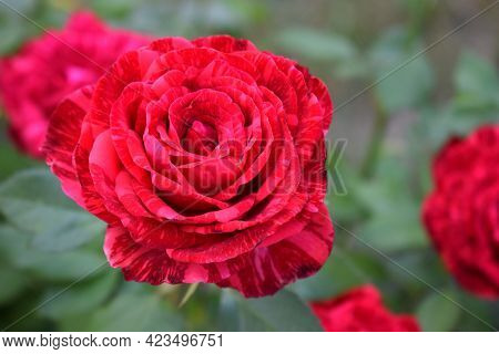 Red Marble Rose-spray With A Marble Coloring Of Dark Red Strokes (angle). Beautiful Tie Dye Rose Flo