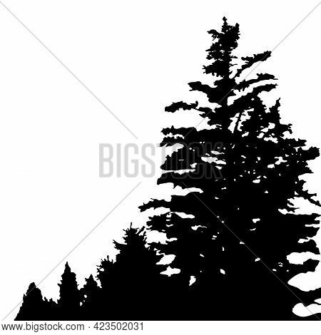 Tall Spruce In The Foreground. Coniferous Trees Are Removed Into The Distance. Silhouettes Isolated