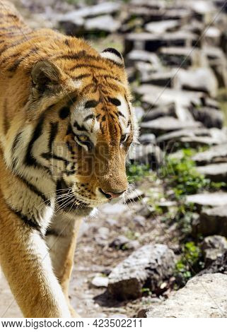 Bengal Royal Tiger Head Closeup Walking In Captivity In The National Park