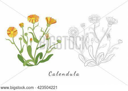 Sketches Of Calendula Or Desert Marigold Herb