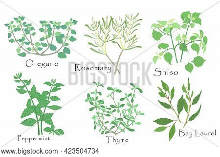 Hand Drawn Culinary Herbs With Color Fill. Rosemary, Oregano, Thyme, Shiso, Peppermint And Laurel Ba