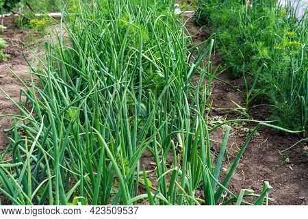 Green Onions Growing In The Garden. Spring Vegetables. Green Onions Seedlings In The Vegetable Garde