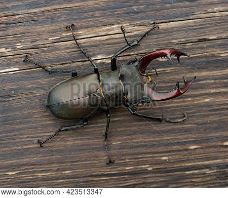 Male stag beetle (Lucanus cervus) on wood background